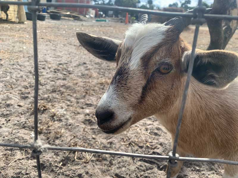 Friendly-goat-came-out-to-say-hi-while-dropping-off-a-dumpster-in-Alva-Florida